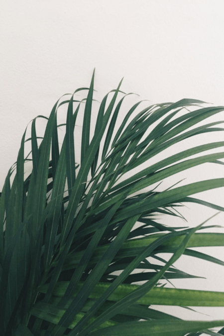 small netia potted palm indoor tree foliage
