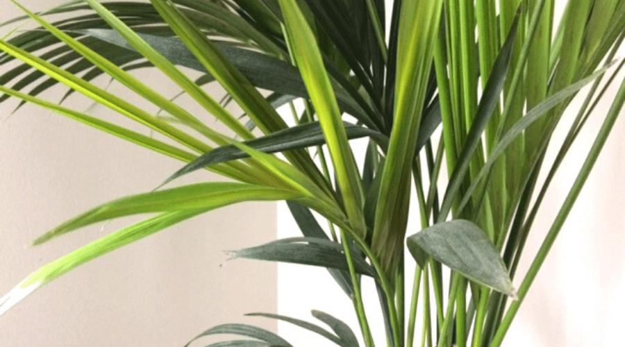 thatch kentia palm howea forteriana