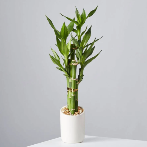 Buy Lucky Bamboo at Plants.com