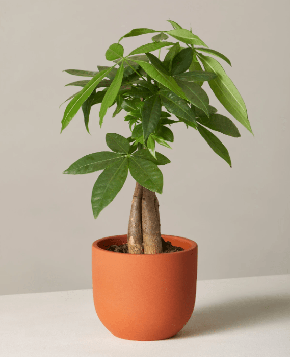 Buy live potted Pachira Aquatica at TheSill.com