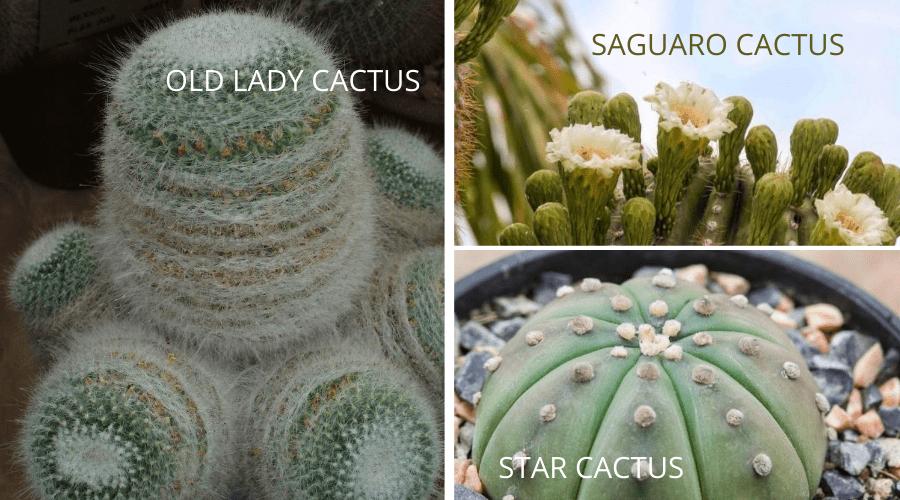 cactus varieties old lady saguaro star cacti