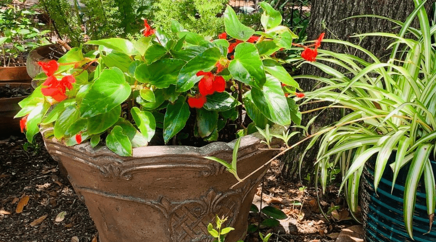 growing begonias outdoors in heavy planter in partially shaded area with spider plant