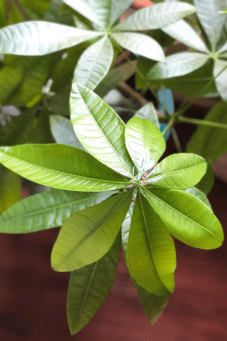money tree closeup of leaves on pachira indoor tree