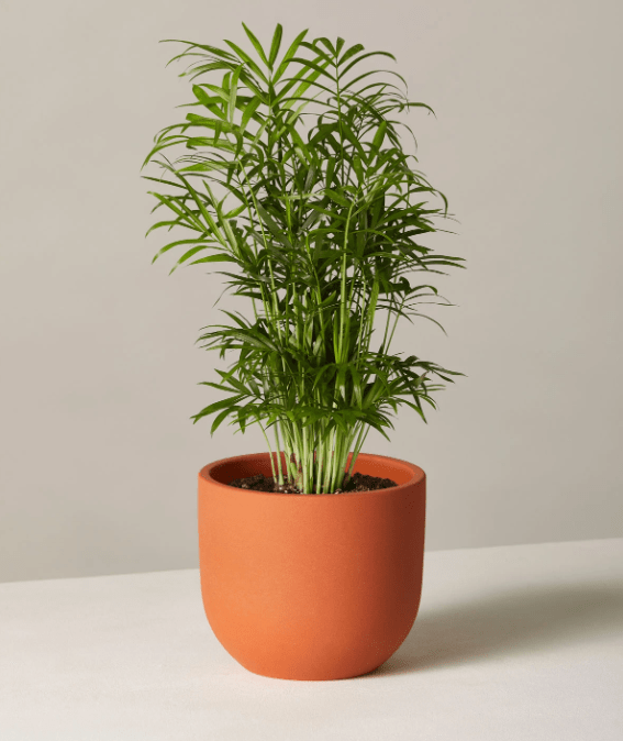 Buy Parlor Palm at TheSill.com