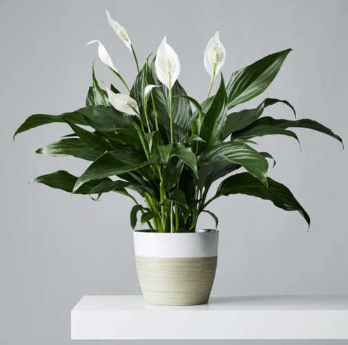 PEACE LILY PLANT AT PLANTS.COM