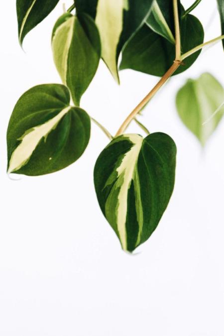 foliage closeup of variegated philodendron cultivar brasil brazil