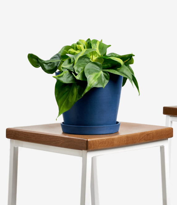 Buy Philodendron Brasil at Bloomscape