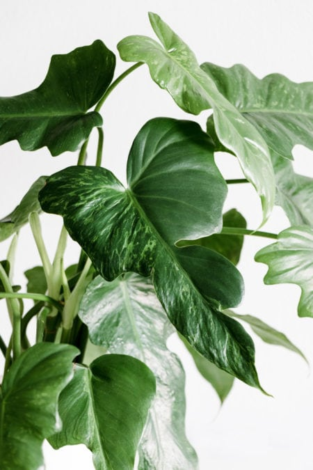 Philodendron Golden Dragon leaves indoor plant care