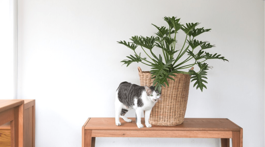 cat on table with large potted philodendron xanadu in woven basket planter