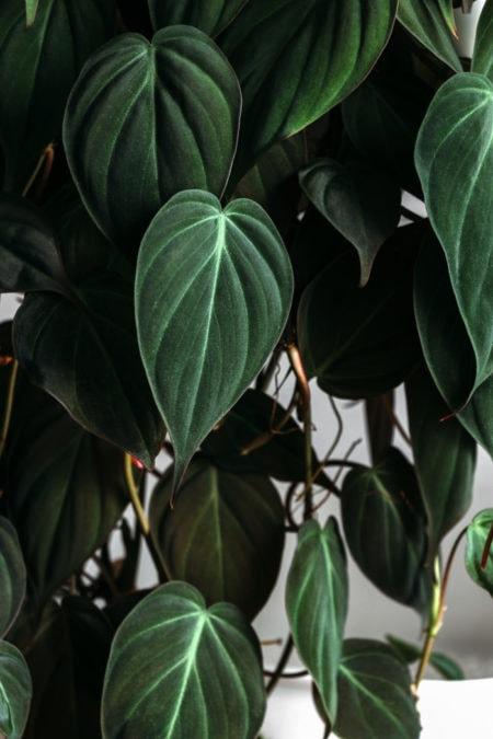 velvet leaf philodendron micans closeup foliage houseplant