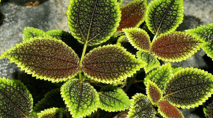 pilea moon valley plant closeup leaf texture and color