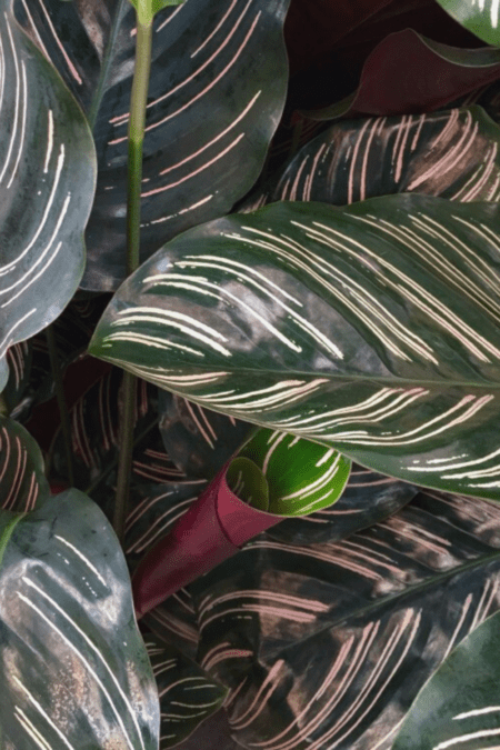 calathea pinstripe plant foliage closeup