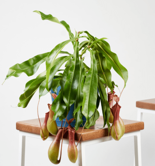 Nepenthes Pitcher Plant from Bloomscape