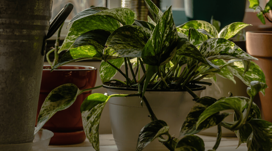 low light indoor plant pothos on shelf
