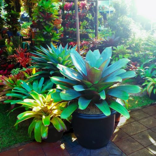indoor potted bromeliads in many shapes and sizes and colors