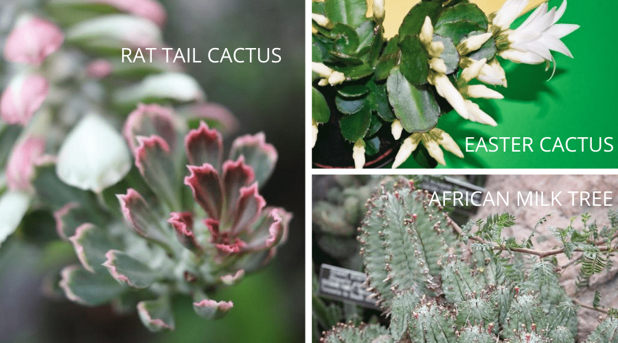 cactus varieties rat tail easter flowering african milk tree cactus