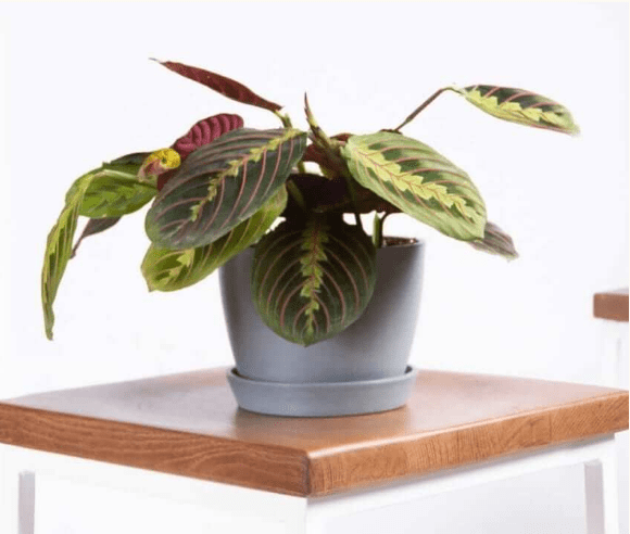 Buy Red Prayer Plant at Bloomscape