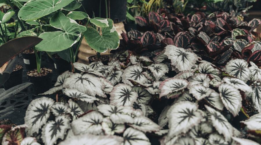 different varieties of begonias growing in outdoor beds