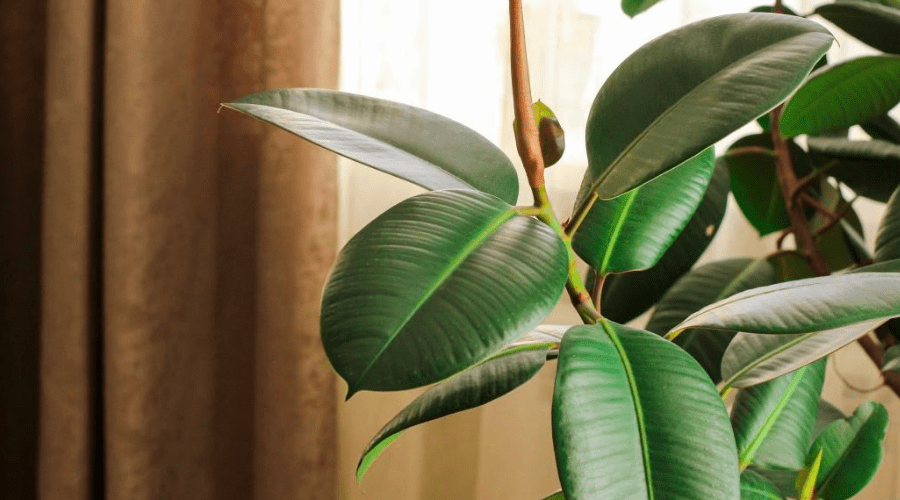 how to grow and care for a rubber plant tree ficus elastica