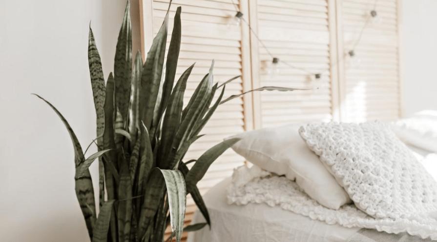 snake plant indoor plant growing in bedroom horizontal