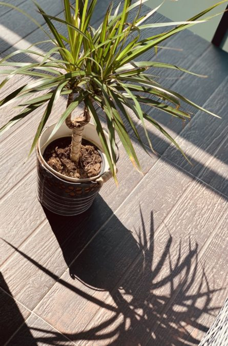 healthy dracaena indoors in bright sunlight with shadow