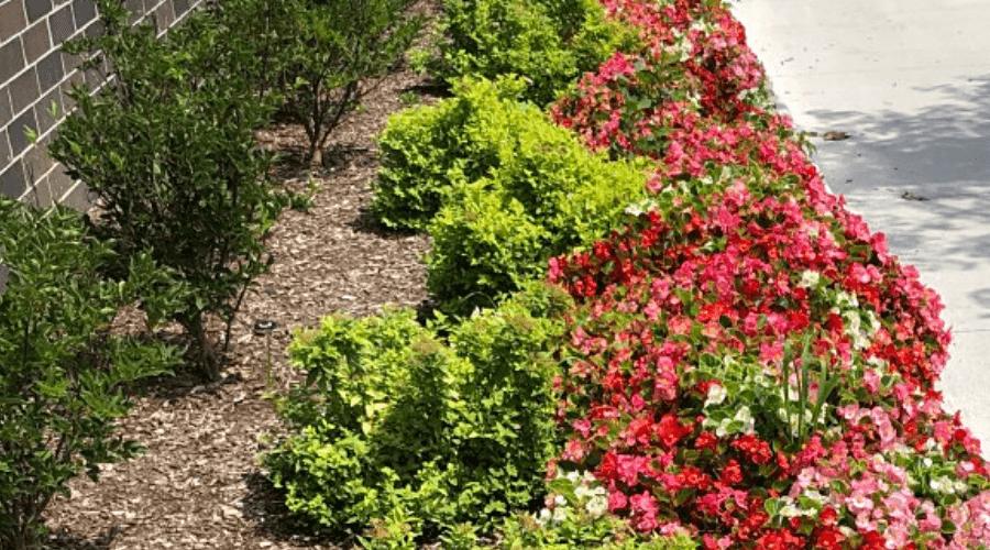 shrub begonias outdoors in flower beds alongside walkway