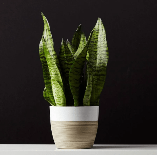 SANSEVIERIA  in two-tone planter from PLANTS.COM