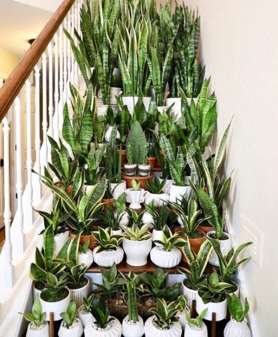 snake plants in many varieties in white planters on a staircase indoors