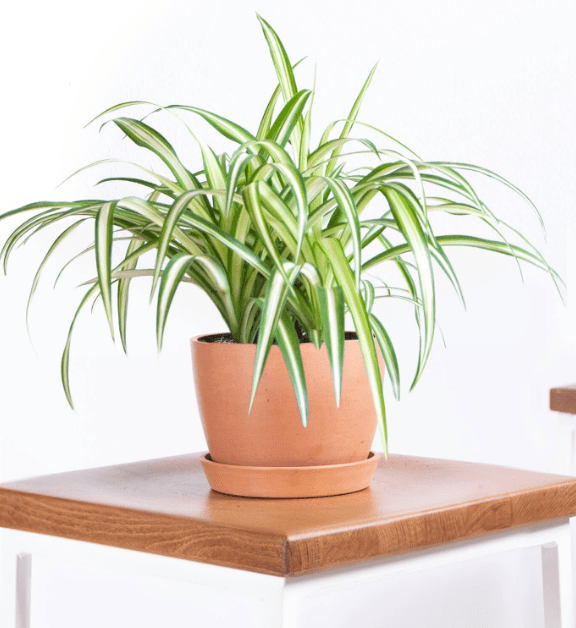 Buy Spider Plant at Bloomscape