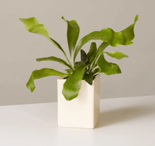 Buy Live Potted Staghorn Ferns at TheSill.com