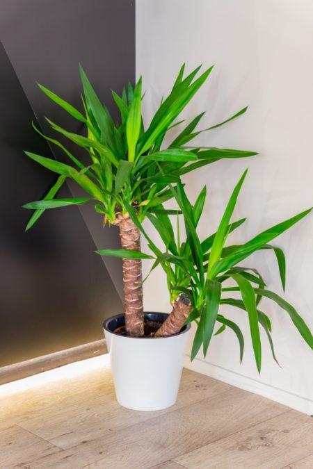 dracaena fragrans in white pot indoors double stalk houseplant