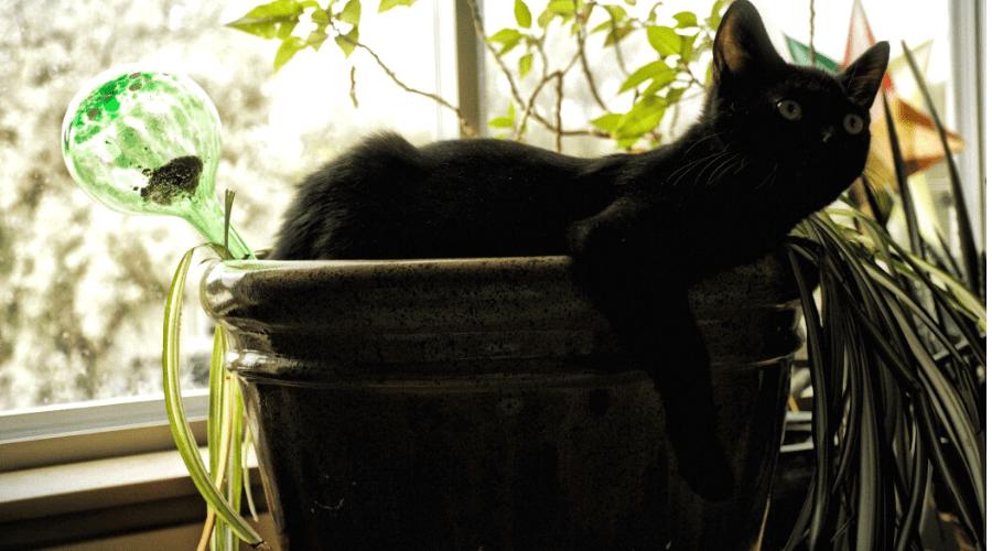 spider plant sunburn cat in pot in window