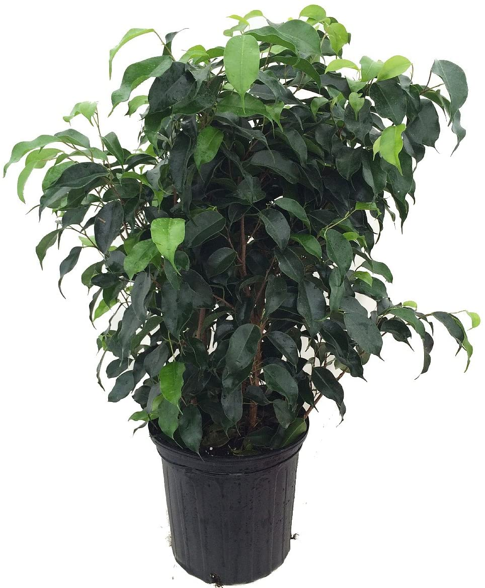 Get Weeping Fig at Amazon