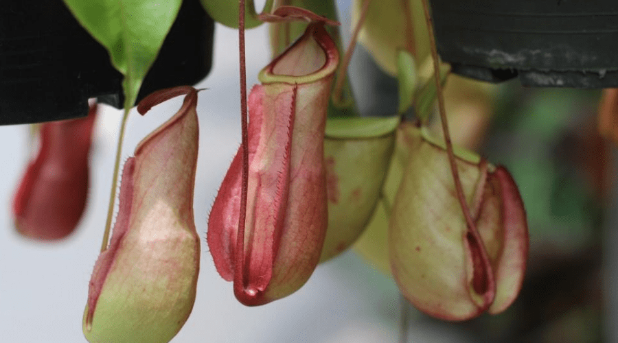 pitcher plant rare indoor plant carnivorous