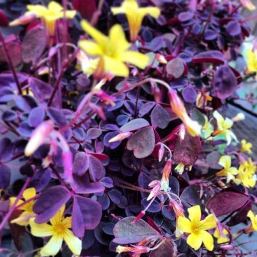 purple oxalis in bloom yellow flowers indoor flowering plant