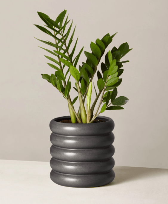 Buy ZZ Plant at TheSill.com