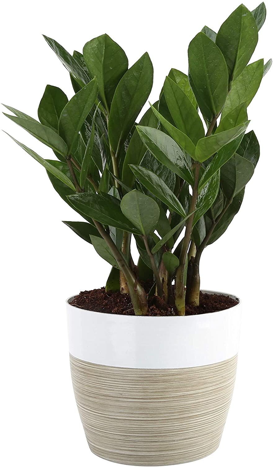Buy ZZ Plant at Amazon