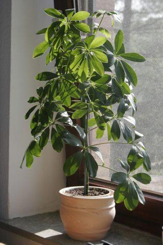 indoor schefflera actinaphylla in planter
