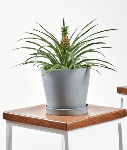 Buy Bromeliad Pineapple at Bloomscape