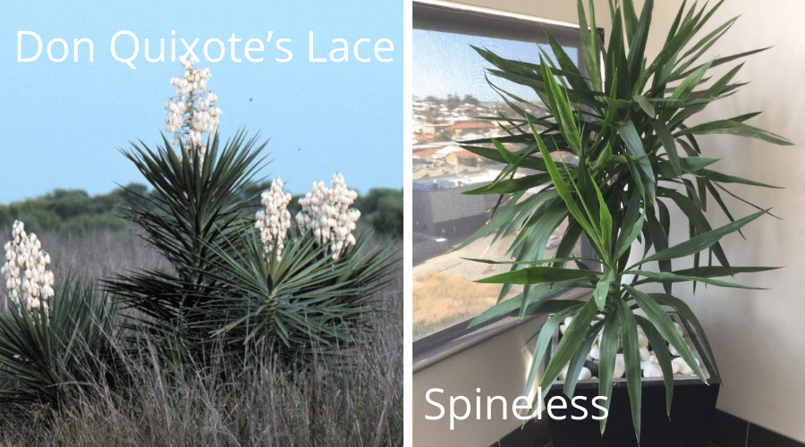 yucca varieties Don Quixote's Lace and spineless indoor