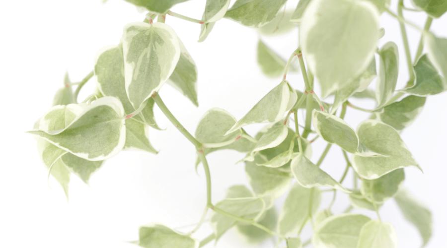 peperomia nitada variegata variety trailing plant succulent