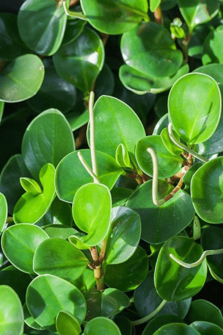 Peperomia obtusifolia original nonveriegated variety in dense planting closeup of foliage