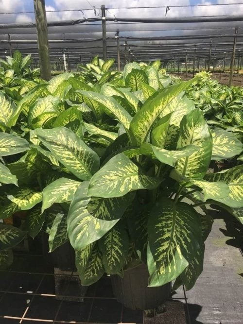 Get Tropic Snow at Amazon