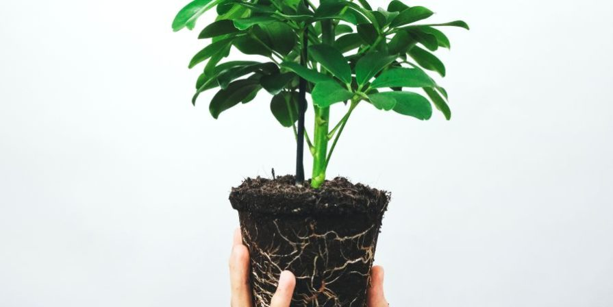 Hand holding up a Schefflera with exposed root ball.