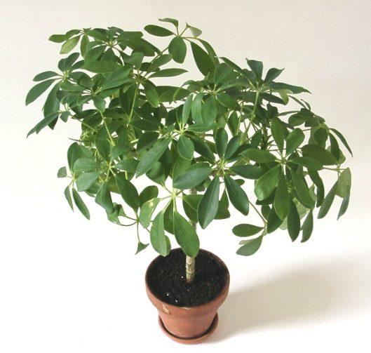 Beautiful potted Schefflera Arboricola