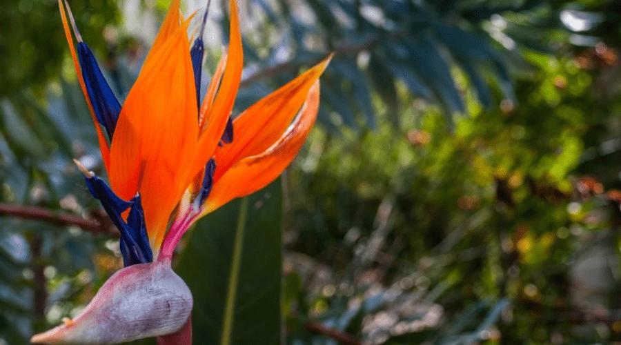 Strelitzia Reginae bird of paradise flower