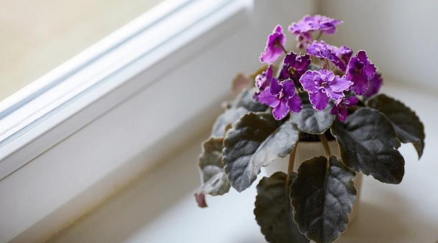 blooming african violet in window