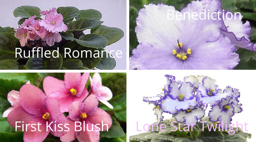 ruffled romance benediction first fiss blush and lonestar twilight african violets