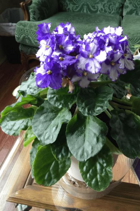 african violet blooming indoors