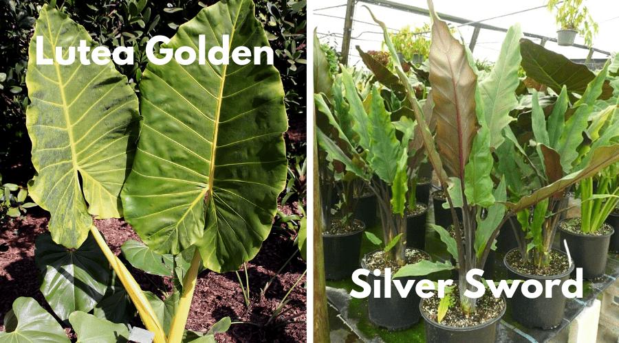alocasia golden and silver sword